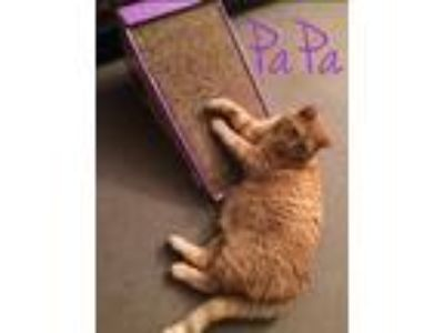 Adopt Pa Pa a Domestic Short Hair