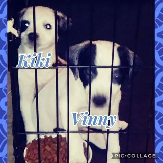 2 puppies need to rehome (boston terrier/jack russell and rat terrier/blue heeler mix