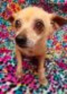 RACOON Chihuahua Dog