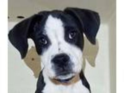Adopt Savannah a Labrador Retriever, Pointer