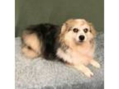 Adopt Dixie (Must be adopted with Maggie) a Australian Shepherd