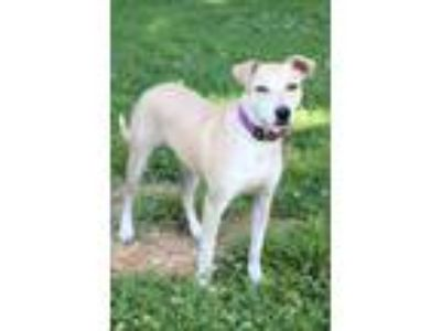 Adopt Fancy a Tan/Yellow/Fawn Labrador Retriever / Mixed dog in Waldorf