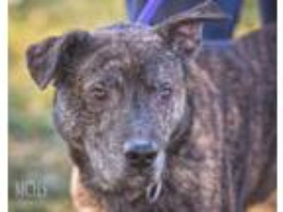 Adopt Billy a Pit Bull Terrier, Australian Cattle Dog / Blue Heeler