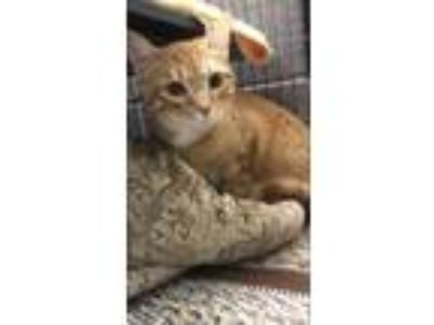 Adopt Jeydon a Orange or Red Domestic Shorthair / Domestic Shorthair / Mixed cat