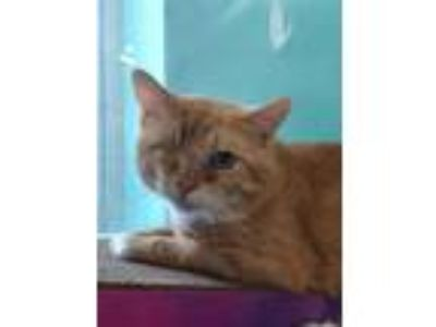 Adopt Jack Sparrow a Orange or Red Domestic Shorthair / Domestic Shorthair /
