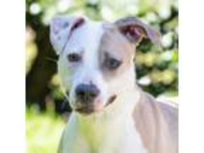 Adopt Foxy a Pit Bull Terrier, Mixed Breed