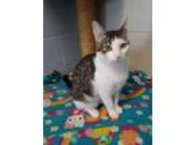 Adopt Bahama Mama a White Domestic Shorthair / Domestic Shorthair / Mixed cat in