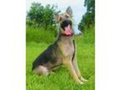 Adopt Gabby Hayes a Black - with Tan, Yellow or Fawn German Shepherd Dog / Mixed