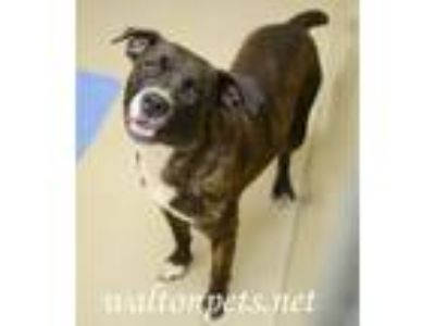 Adopt Ivan a Brindle Boxer / Mixed dog in Monroe, GA (25665306)