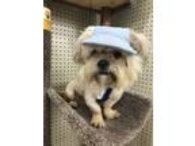 Adopt Louie( will not be at events) a Shih Tzu