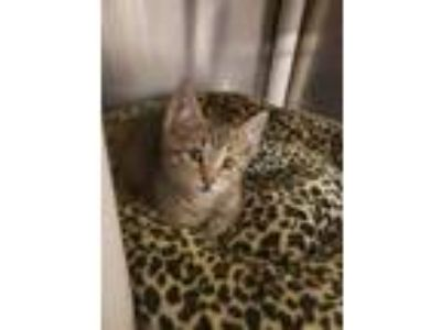 Adopt Copy Cat a Brown or Chocolate Domestic Shorthair / Domestic Shorthair /
