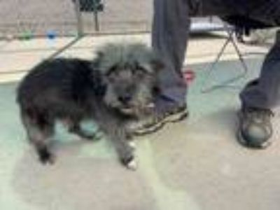 Adopt JINGLE a Terrier, Poodle