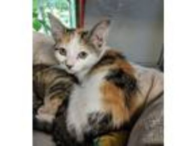Adopt Brielle a Domestic Short Hair