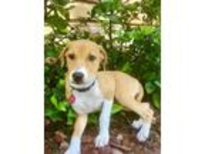 Adopt Hattie Rico a Tan/Yellow/Fawn - with White Labrador Retriever / Hound