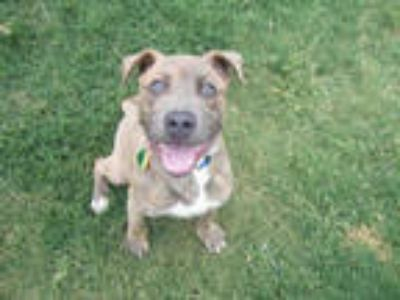 Adopt DIGIT a Brindle American Pit Bull Terrier / Plott Hound / Mixed dog in