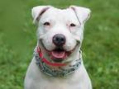 Adopt Snow White a Staffordshire Bull Terrier