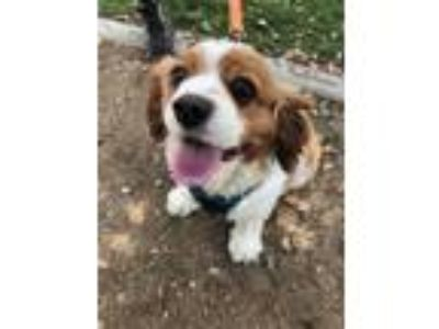 Adopt Happy Hero a White Cavalier King Charles Spaniel / Mixed dog in Yucaipa
