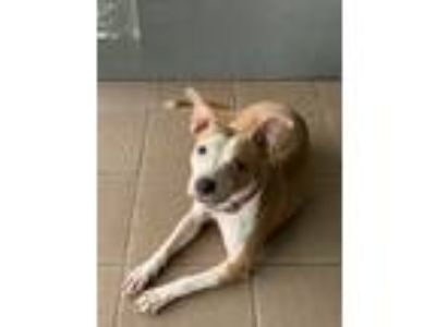 Adopt Malibu a Tan/Yellow/Fawn - with White American Pit Bull Terrier dog in