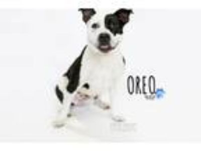 Adopt Oreo a White - with Black Pit Bull Terrier / Mixed dog in Santa Monica