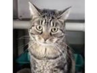 Adopt Kiki a Brown Tabby Domestic Shorthair (short coat) cat in Washingtonville