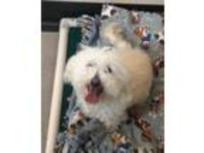 Adopt WILMA a Bichon Frise / Terrier (Unknown Type, Small) / Mixed dog in