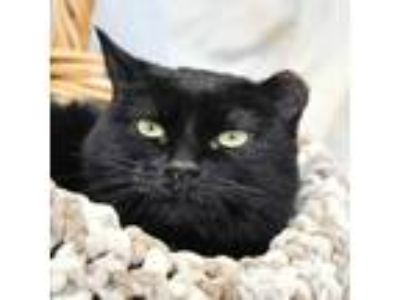 Adopt Sally a Domestic Short Hair, American Shorthair
