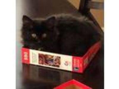 Adopt Shen a Domestic Mediumhair / Mixed (short coat) cat in Menifee