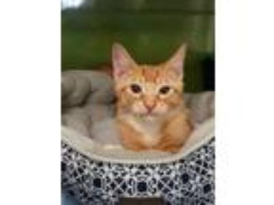 Adopt Frisco a Domestic Short Hair