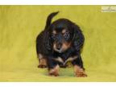 Nocona Mini Dachshund Male blk tan