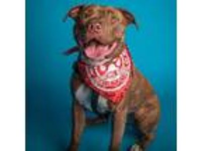 Adopt Cleo a American Staffordshire Terrier, Pit Bull Terrier