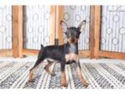 Jessie- Female AKC Miniature Pinscher