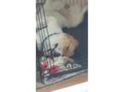 Adopt Haku a Tan/Yellow/Fawn - with White Spitz (Unknown Type