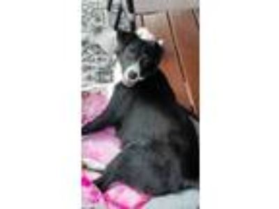 Adopt Paige a Border Collie