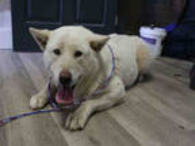 Adopt SNOOKI a White Husky / Mixed dog in Redlands, CA (25813572)