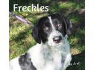 Adopt Freckles a Black - with White English Springer Spaniel / Mixed dog in