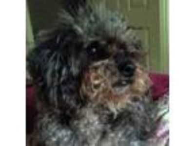 Adopt Ziggy a Gray/Silver/Salt & Pepper - with Black Poodle (Miniature) /