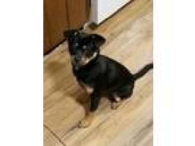 Adopt Bowser a Miniature Pinscher, Terrier