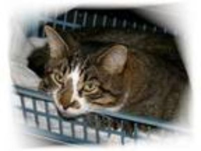 Adopt Chase a Domestic Short Hair, Tabby