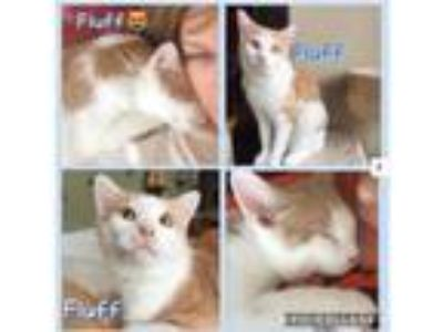 Adopt Fluff (LoverBoy) a Domestic Short Hair