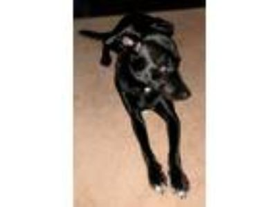 Adopt Princess a Labrador Retriever, Border Collie