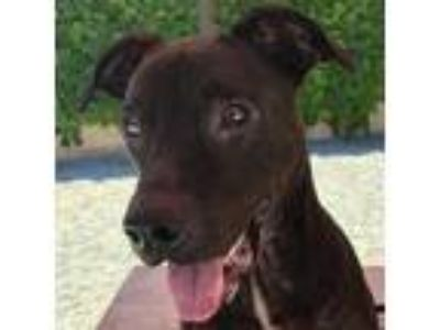 Adopt Vader a Brown/Chocolate - with Black Labrador Retriever / American Pit