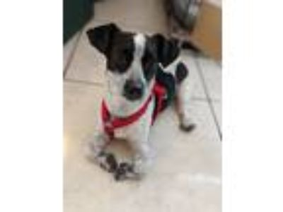 Adopt Darla a White - with Black Dachshund / Mixed dog in Okeechobee