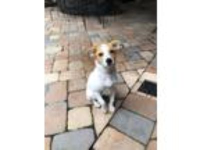 Adopt Ace a Jack Russell Terrier