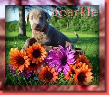 Sparkle AKC Female Labrador Retriever