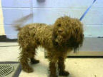 Adopt SCRUFFY a Brown/Chocolate Poodle (Standard) / Mixed dog in Atlanta
