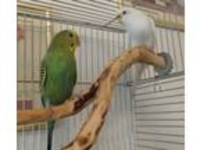 Adopt Tinsel & Twinkle a White Budgie bird in Lombard, IL (20613349)