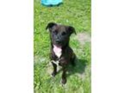 Adopt Furreal a Brindle - with White Pit Bull Terrier / Mixed Breed (Medium) /