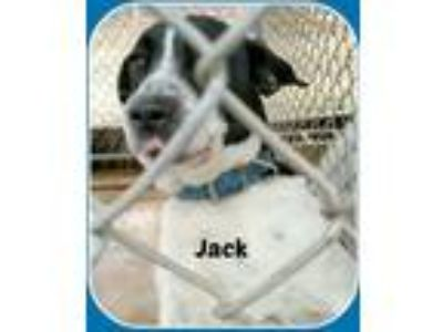 Adopt JACK a White - with Black Pointer / Mixed dog in Malvern, AR (20532521)