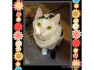 Adopt Reeses a Calico or Dilute Calico Calico (short coat) cat in Barrington