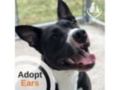 Adopt Ears a Pit Bull Terrier, Mixed Breed
